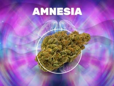 Amnesia Haze CBD weedzy