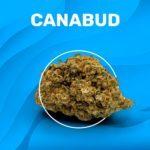 CANABUD CBD