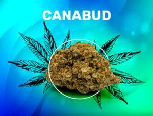 Canabud CBD weedzy flower